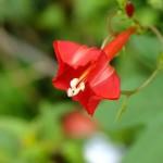 จิงจ้อดอกแดง