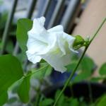 ดอกอัญชันขาว