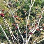 ต้นสำโรง…ต้ไม้ ที่หายาก…