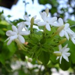 พุทธชาด…ไม้ดอกหอม