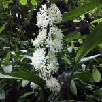 เอื้องลิลา Corymborkis Veralifolia ( reinw ) BI